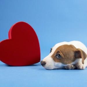 valentines day puppy